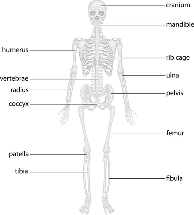 Skeletal Organs Choice Image - human anatomy organs diagram