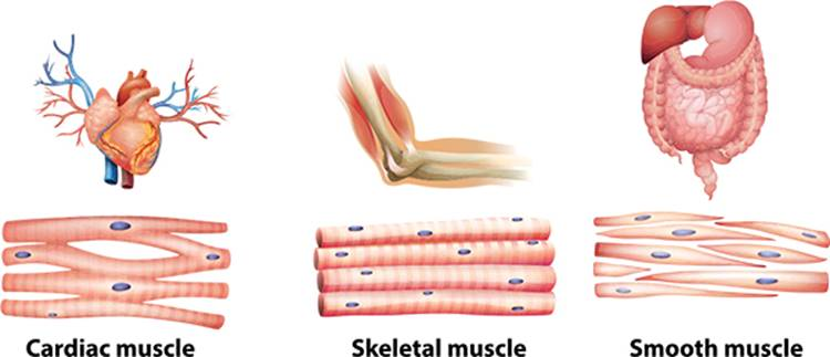 Major Skeletal Muscles Anatomy 101 From Muscles And Bones To