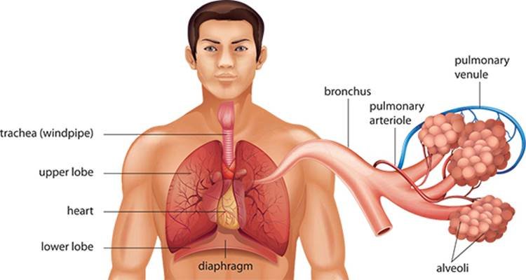 Respiratory System Anatomy 101 From Muscles And Bones To Organs