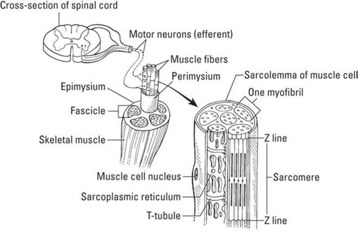 Muscles Setting You In Motion Anatomy Physiology For Dummies
