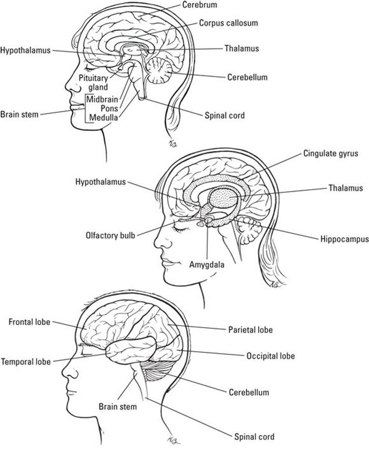 Fein Anatomy And Physiology Brain Galerie - Menschliche Anatomie ...