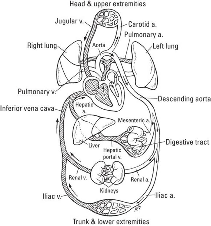 The Cardiovascular System: Getting Your Blood Pumping - Anatomy ...