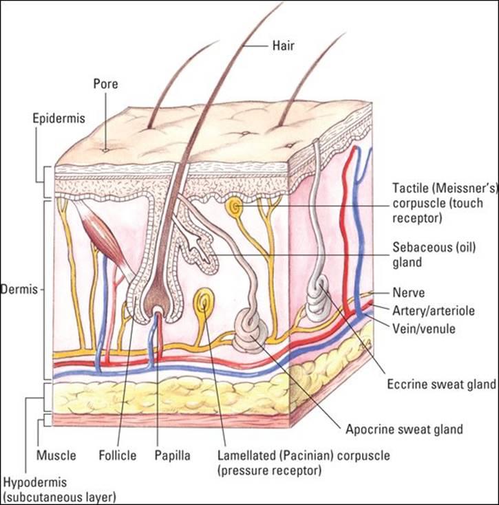 Moderno Anatomy And Physiology Of Pneumonia Viñeta - Anatomía de Las ...