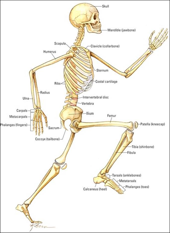 Supplemental Images Anatomy Physiology For Dummies 3rd Ed