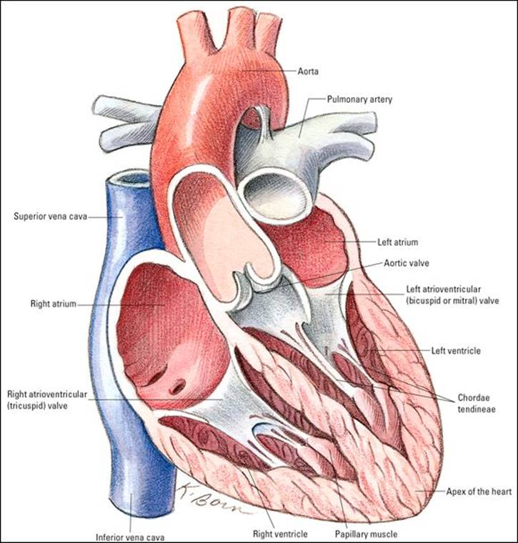 Asombroso Anatomy And Physiology Of The Heart For Dummies Molde ...