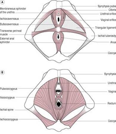 The reproductive and urinary systems - Anatomy & Physiology for ...
