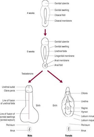 Sexual differentiation and behaviour - Anatomy & Physiology for ...