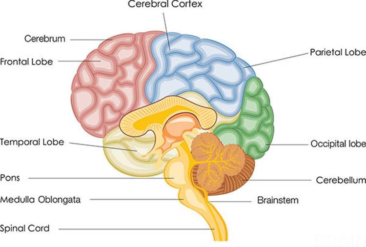 BRAIN AND SPINAL CORD - Anatomy 101: From Muscles and Bones to ...