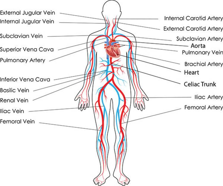 Cardiovascular System And Heart Structure Anatomy 101 From