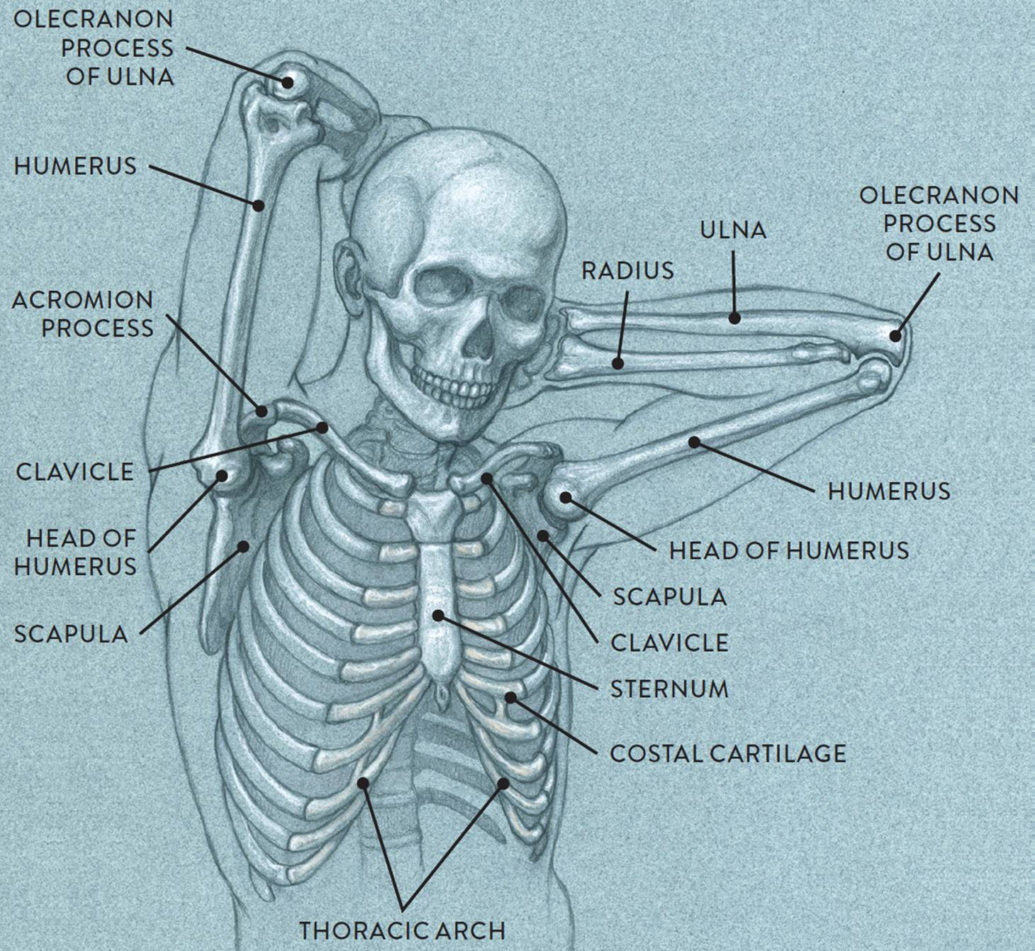 Bones and Surface Landmarks - Classic Human Anatomy in