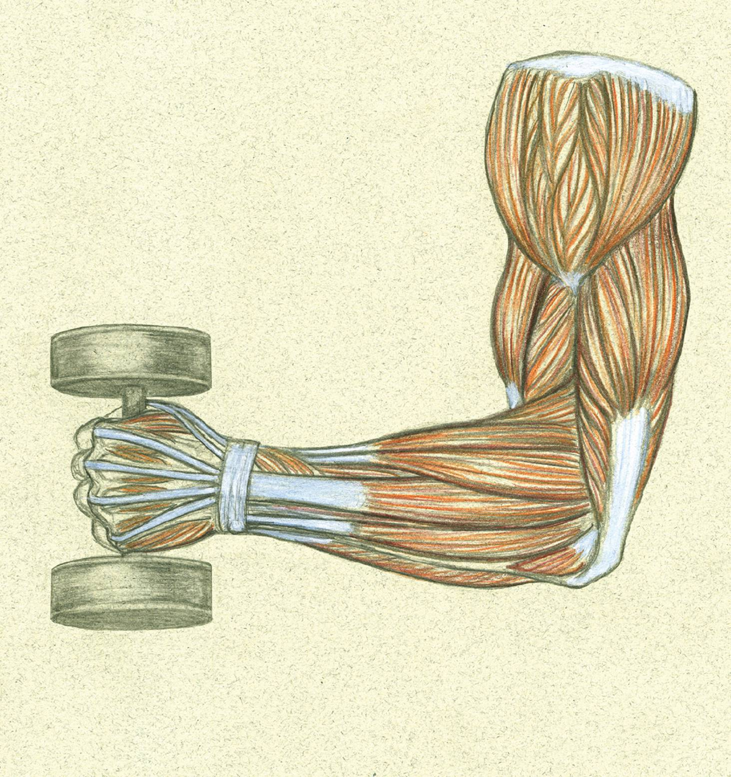 Muscle and Tendon Characteristics - Classic Human Anatomy in Motion ...