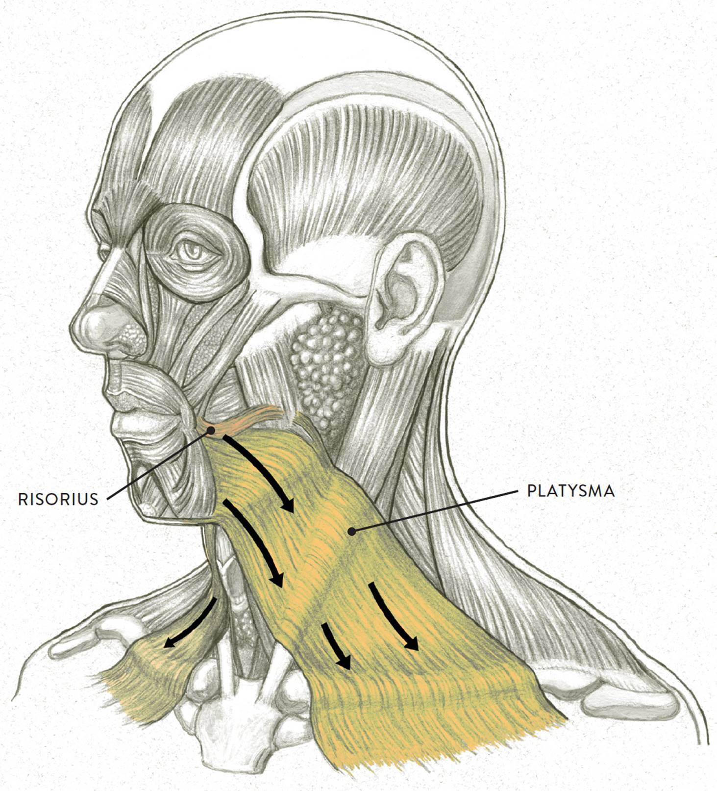 Facial Muscles and Expressions - Classic Human Anatomy in Motion ...