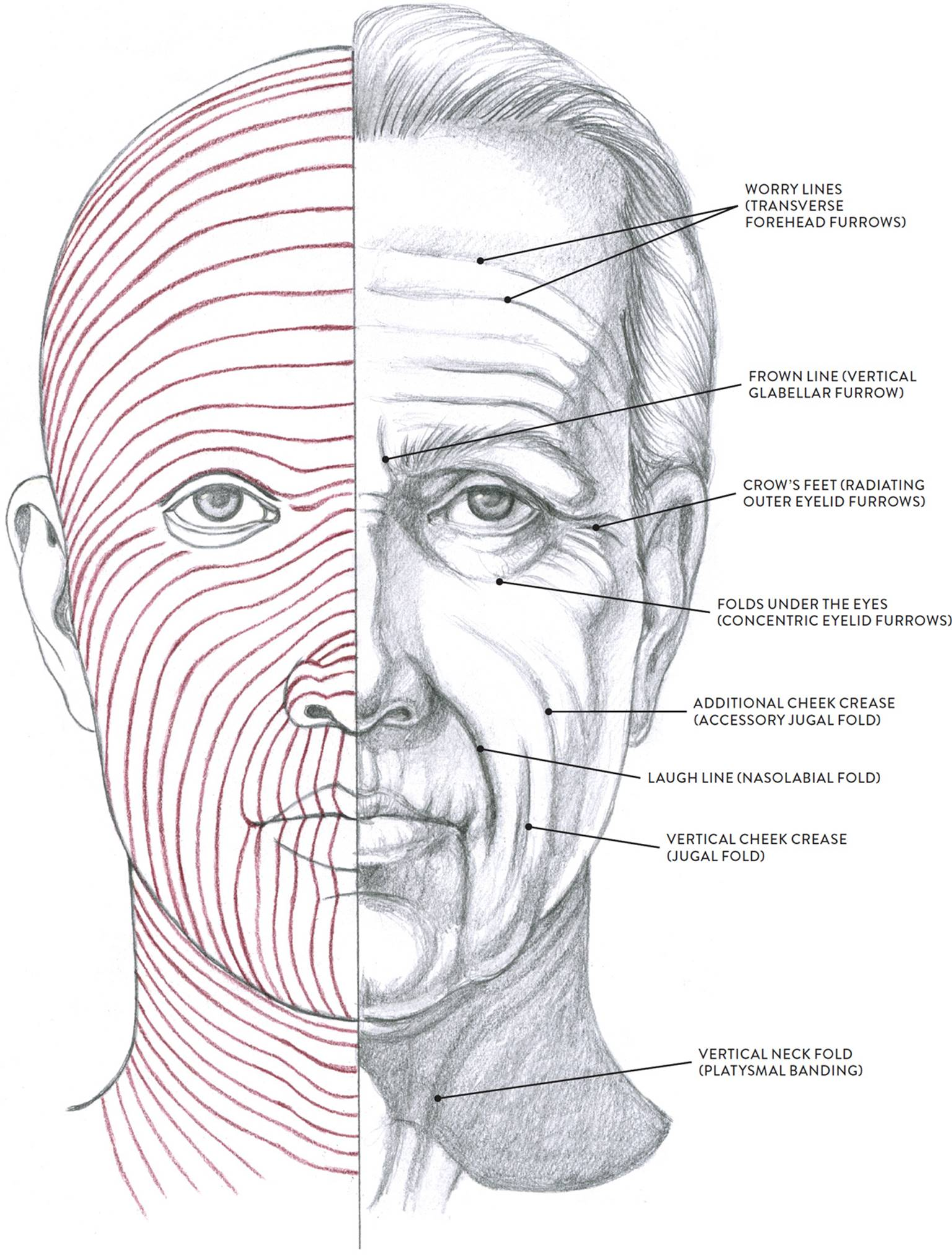 Facial Muscles and Expressions - Classic Human Anatomy in
