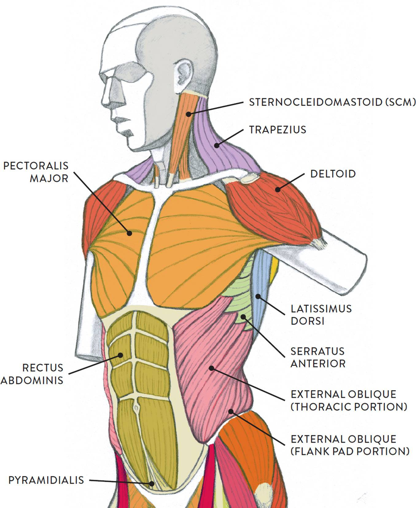 Muscles Of The Neck And Torso Classic Human Anatomy In Motion The