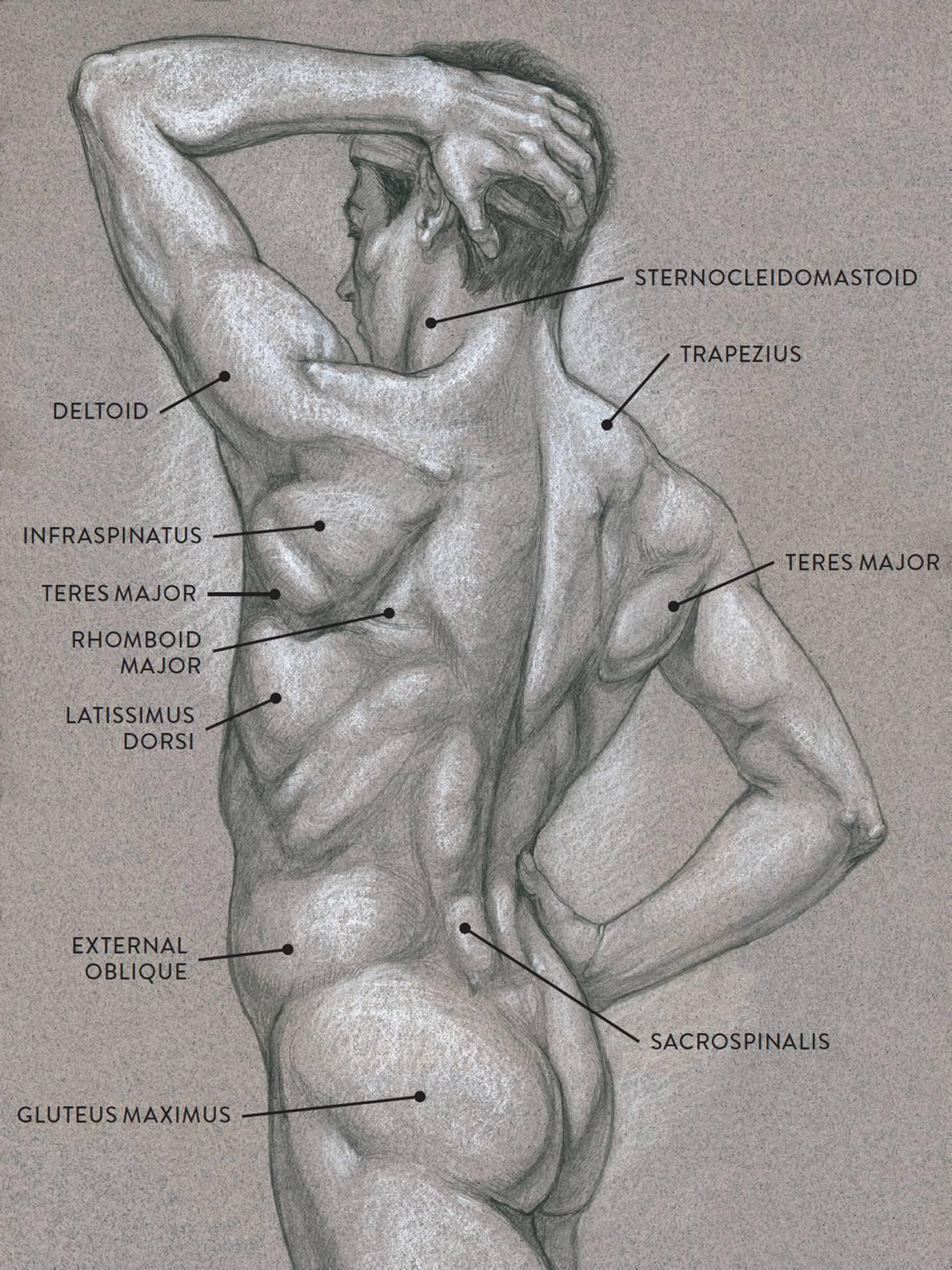 Bonito Human Anatomy In Motion Patrón - Anatomía de Las Imágenesdel ...