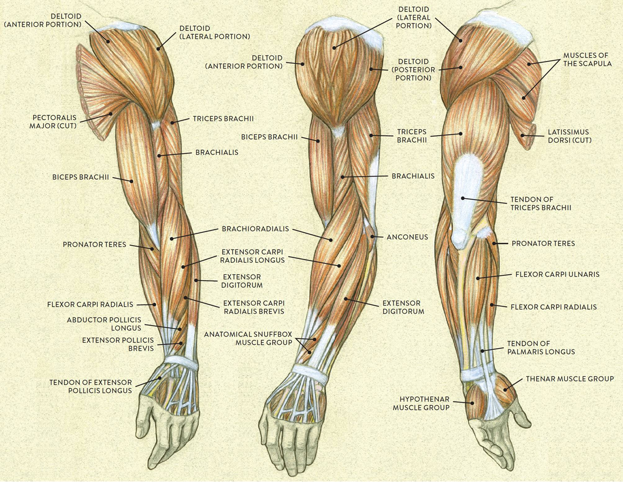 Muscles Of The Arm And Hand Classic Human Anatomy In Motion The