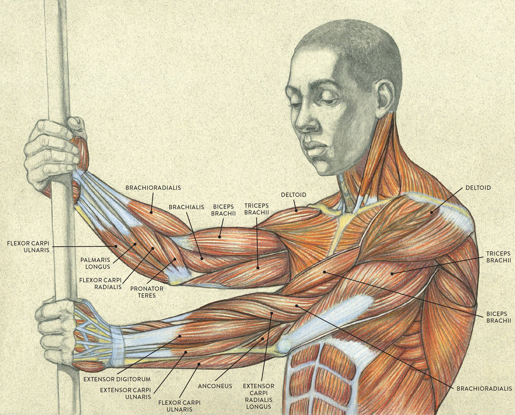 Muscles of the Arm and Hand - Classic Human Anatomy in