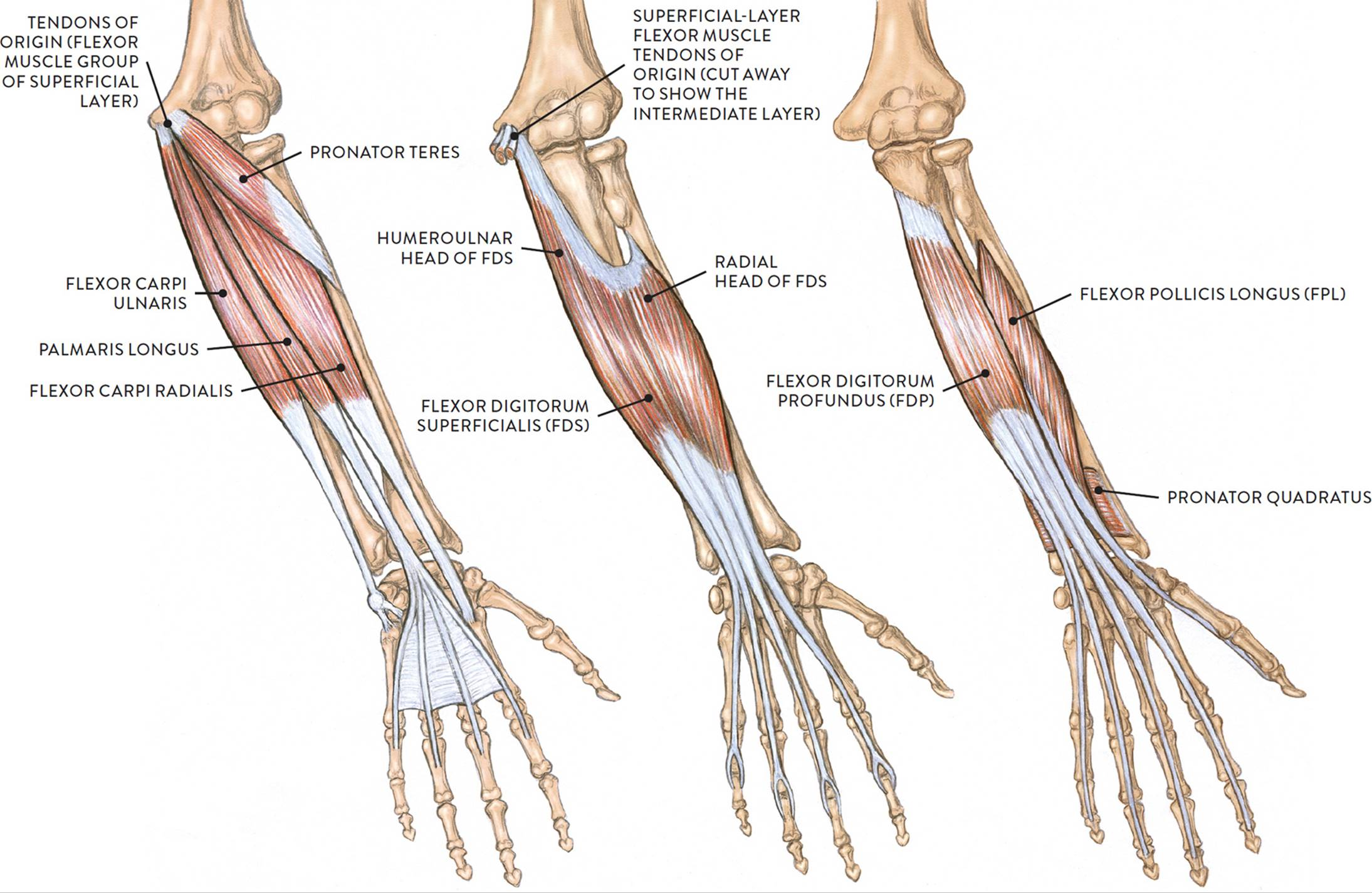 Muscles of the Arm and Hand - Classic Human Anatomy in Motion: The ...