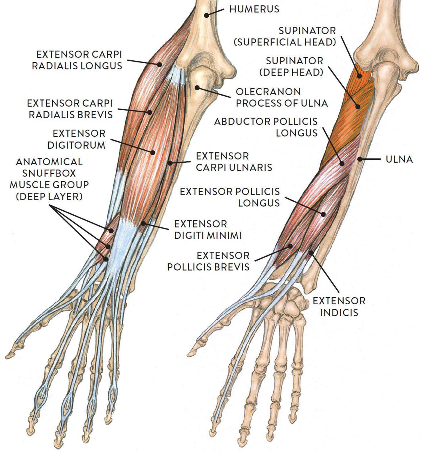 left hand muscle diagram amazing wiring diagram productleft arm of a loliginid squid