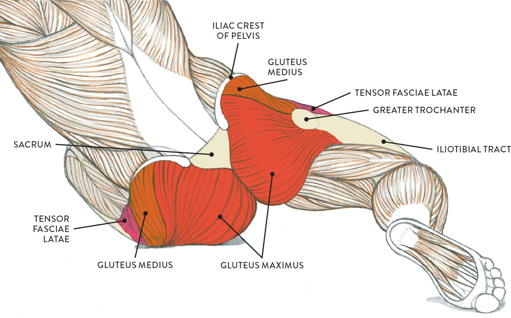 Muscles of the Leg and Foot - Classic Human Anatomy in Motion: The ...