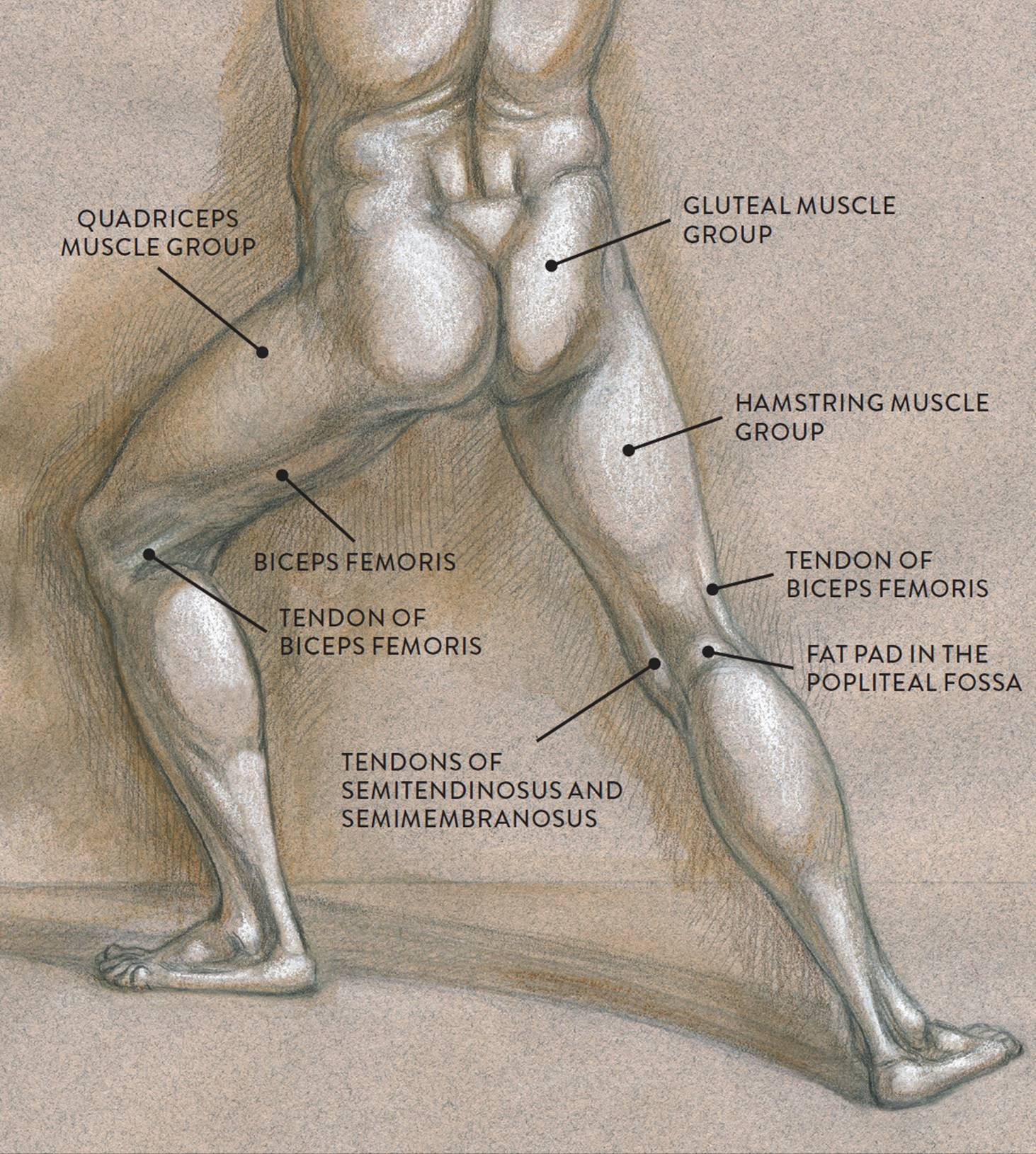 Leg Muscle Diagram Hamstring Human How To Create Value Stream Map