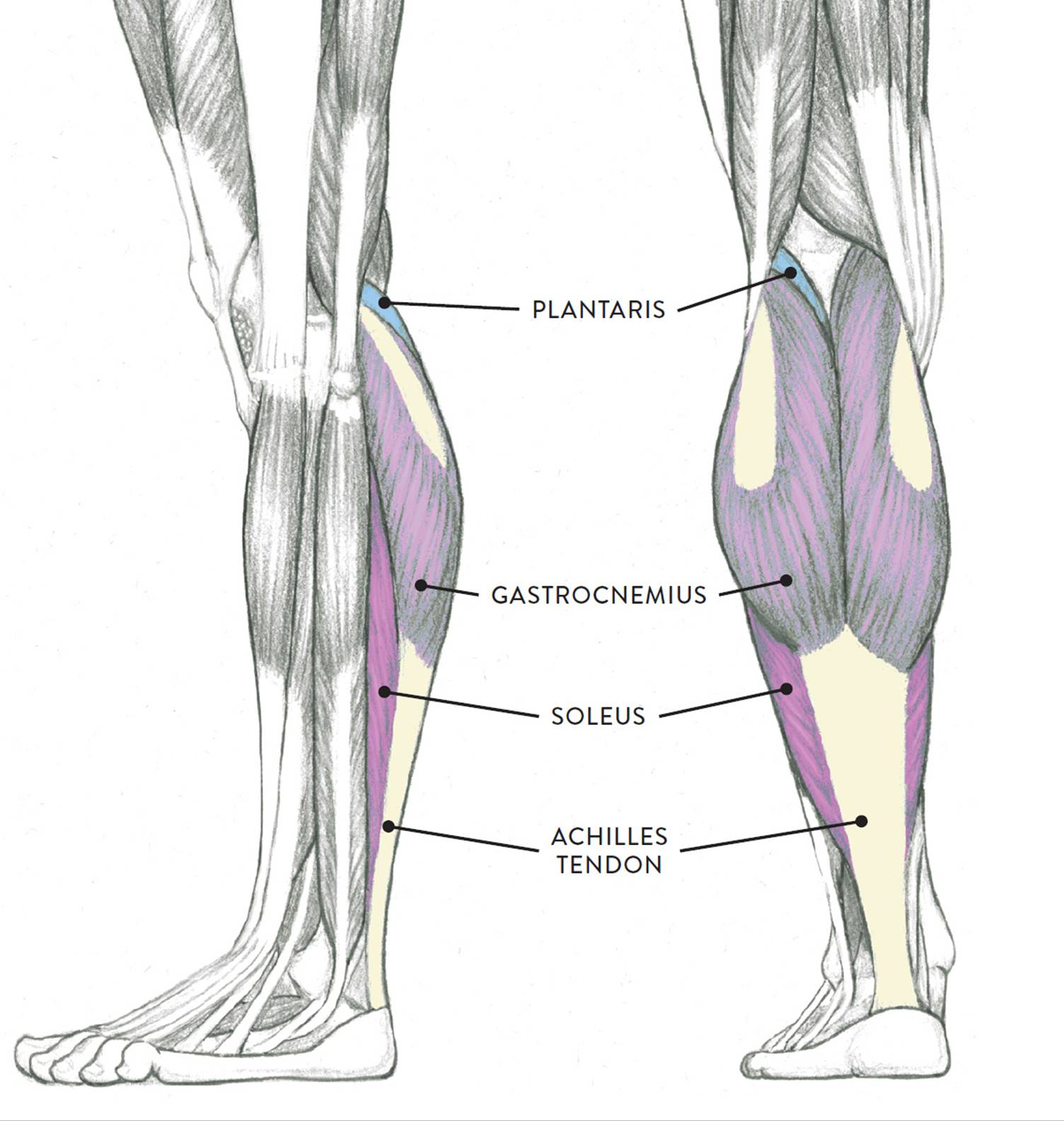 Muscles Of The Leg And Foot Classic Human Anatomy In Motion The Artist S Guide To The Dynamics Of Figure Drawing