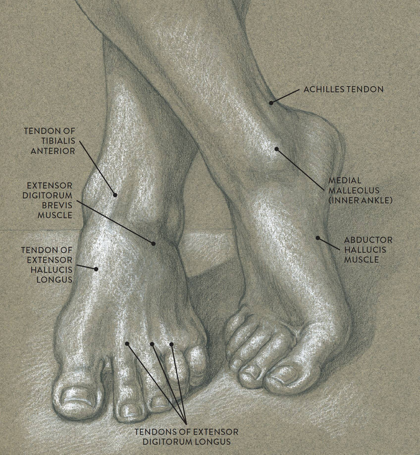 Funky Inner Ankle Anatomy Pattern - Anatomy and Physiology Tissue ...
