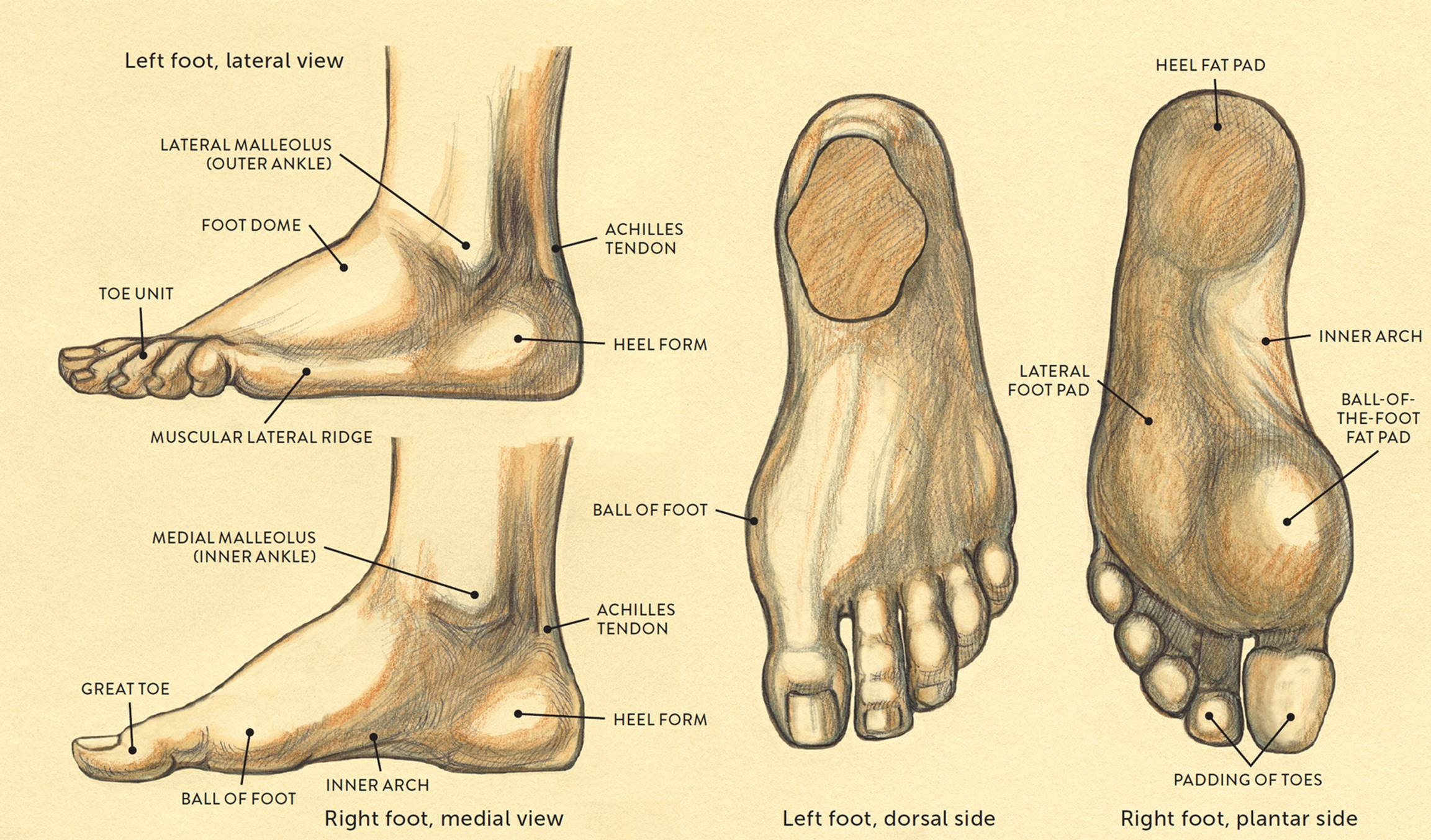 Anatomy Of The Heel Pad Images - human body anatomy