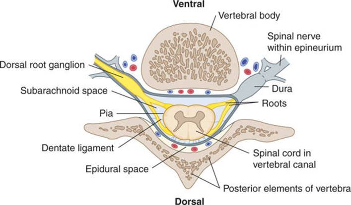 The Vertebral Column And Other Structures Surrounding The Spinal Cord Clinical Neuroanatomy 28 Ed The filum terminale (terminal thread) is a delicate strand of fibrous tissue, about 20 cm in length, proceeding downward from the apex of the conus cauda equina and filum terminale seen from behind. structures surrounding the spinal cord