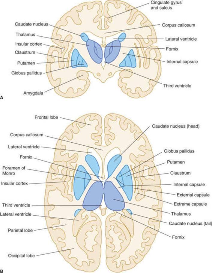 Cerebral Hemispheres Telencephalon Clinical Neuroanatomy