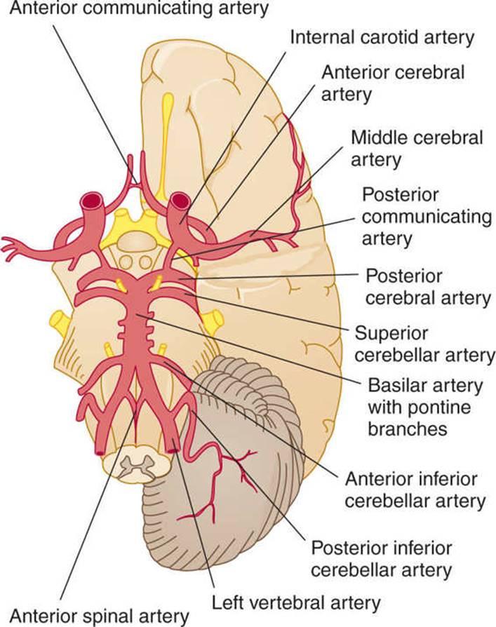 Vascular Supply of the Brain - Clinical Neuroanatomy, 28 ed.