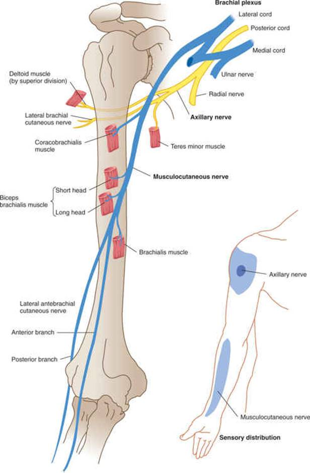 Spinal Nerves and Plexuses - Clinical Neuroanatomy, 28 ed.