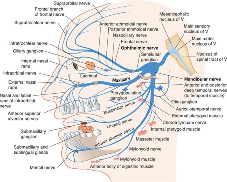 Cranial Nerves And Pathways Clinical Neuroanatomy 27 Ed