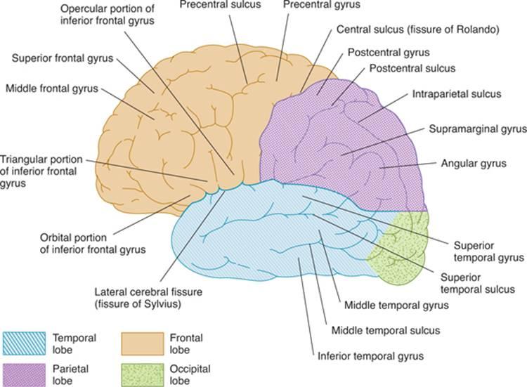 Cerebral Hemispherestelencephalon Clinical Neuroanatomy 27 Ed