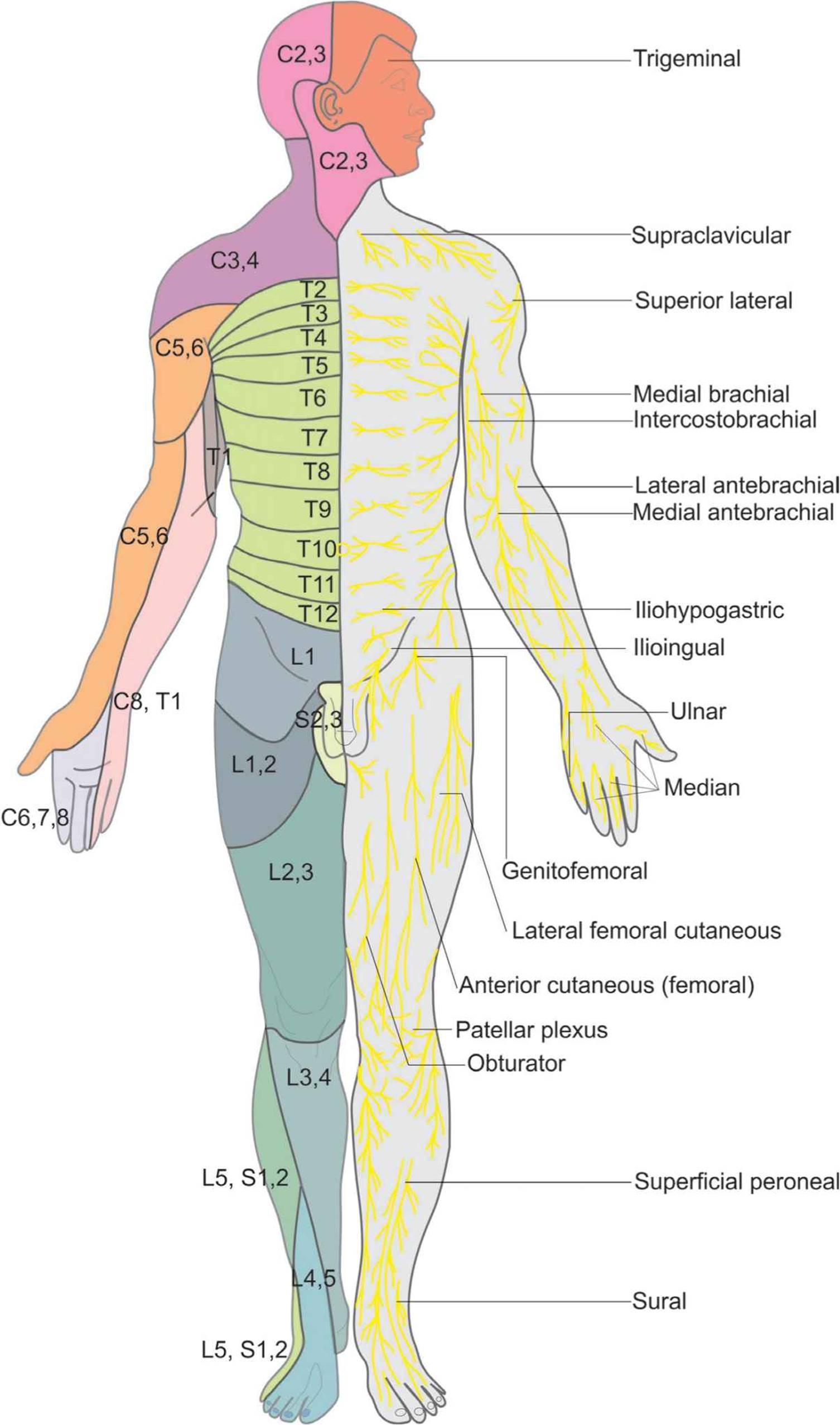 Essential Regional Anesthesia Anatomy Hadzics Peripheral Nerve