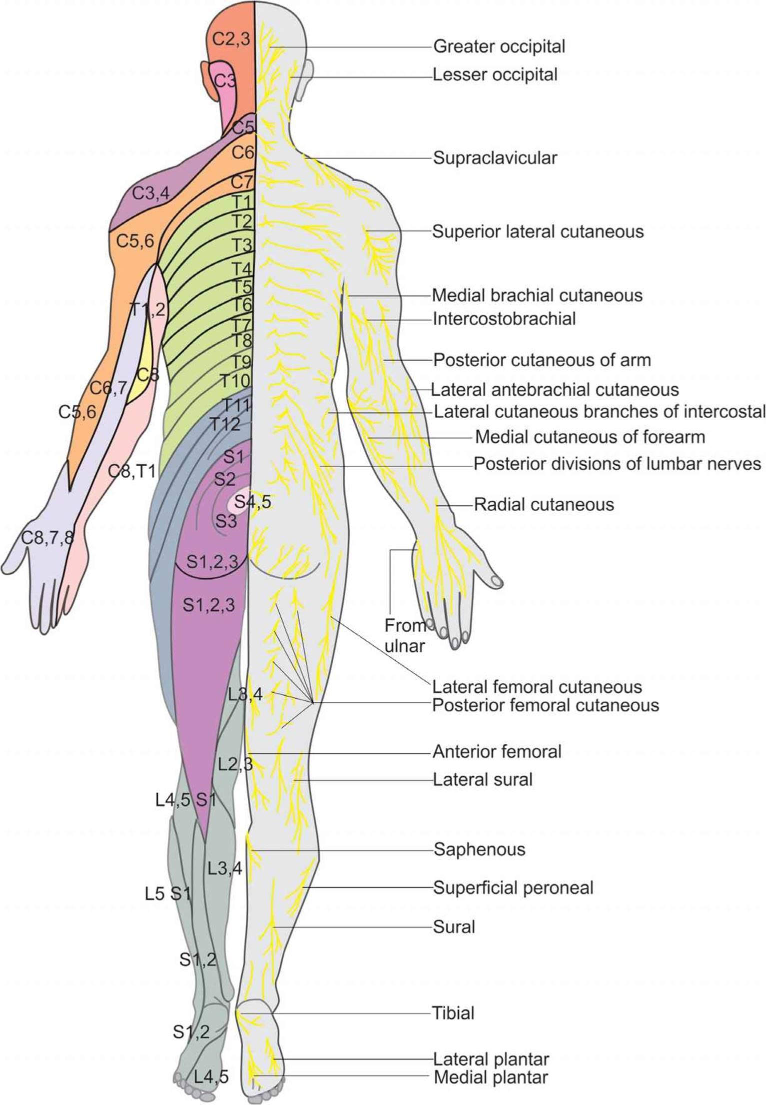 Essential Regional Anesthesia Anatomy - Hadzic\'s Peripheral Nerve ...