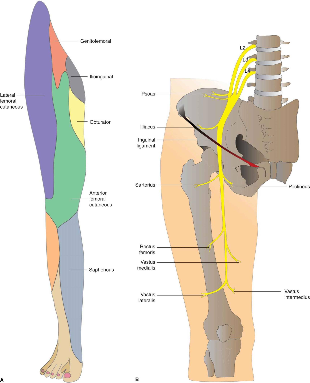 Lumbar Plexus Block Hadzics Peripheral Nerve Blocks And Anatomy