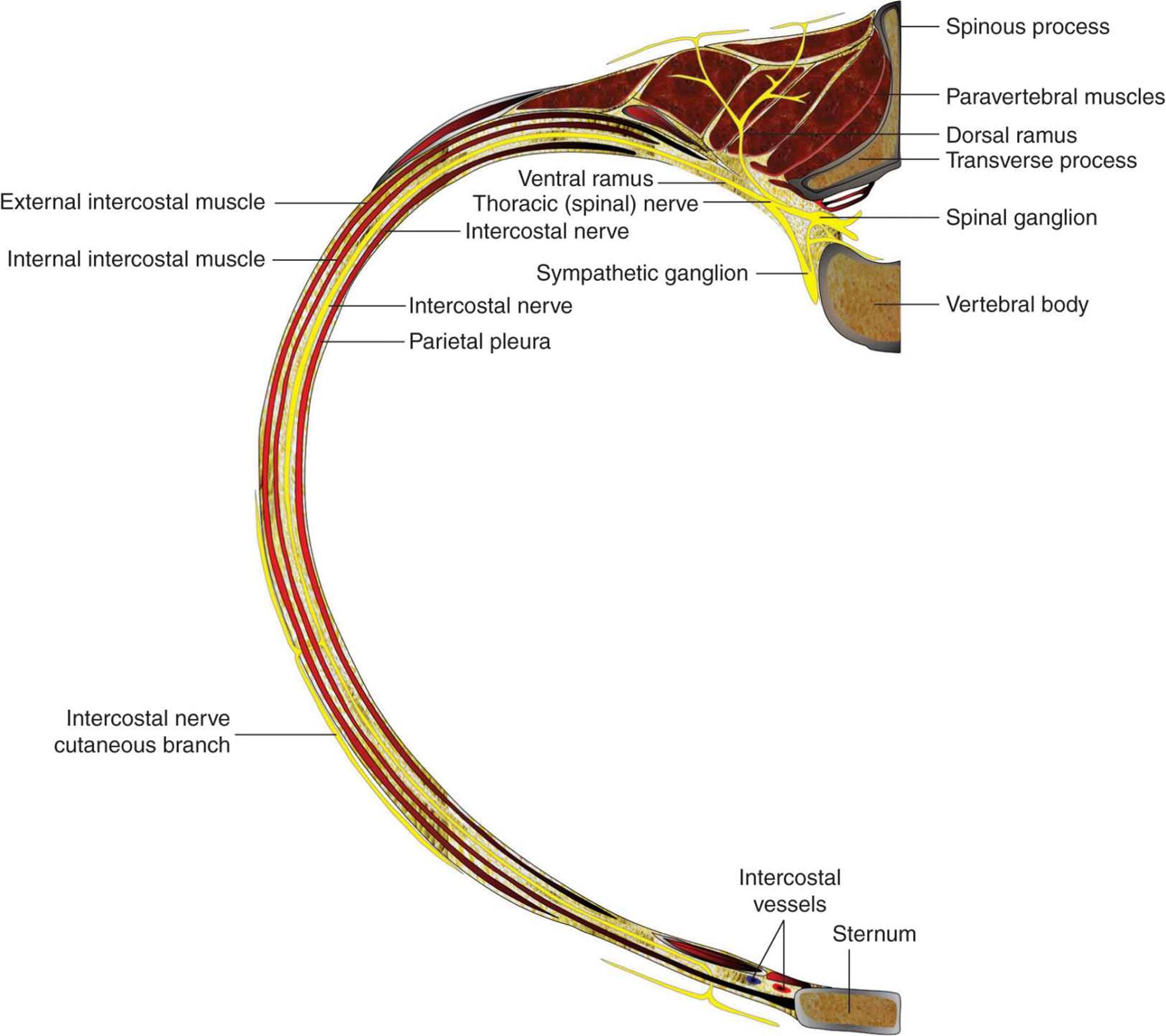 Thoracic Paravertebral Block - Hadzic\'s Peripheral Nerve Blocks and ...
