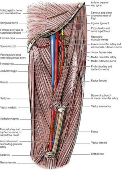 Anterior compartment of the thigh - Last\'s Anatomy: Regional and Applied