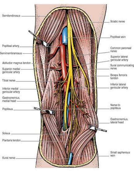 Popliteal fossa and knee joint - Last\'s Anatomy: Regional and Applied