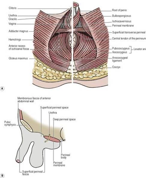 Perineum - Last\'s Anatomy: Regional and Applied