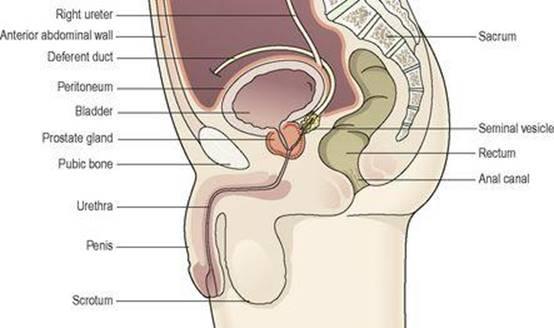 Ausgezeichnet Anatomy And Physiology Of Prostate Gland Pdf Ideen ...