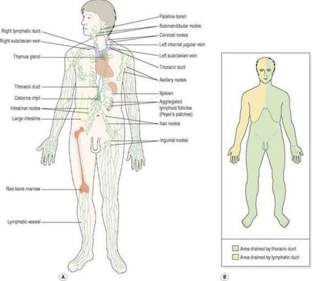 The Lymphatic System Ross And Wilson Anatomy And Physiology In