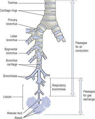 The Respiratory System Ross And Wilson Anatomy And Physiology In