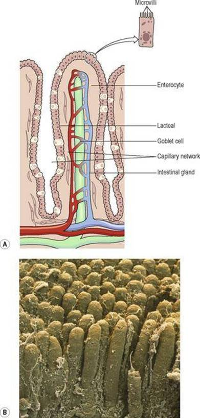 The digestive system - Ross and Wilson ANATOMY and PHYSIOLOGY in ...