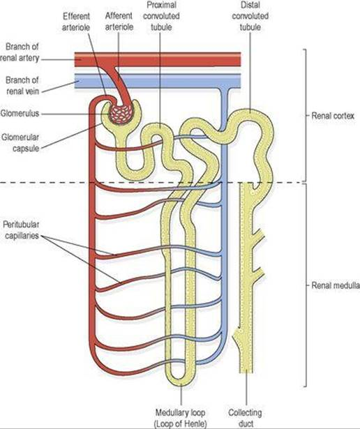 The urinary system - Ross and Wilson ANATOMY and PHYSIOLOGY in ...