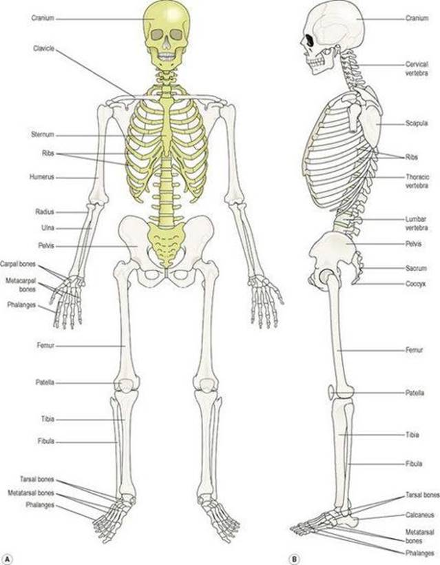 The musculoskeletal system - Ross and Wilson ANATOMY and PHYSIOLOGY ...