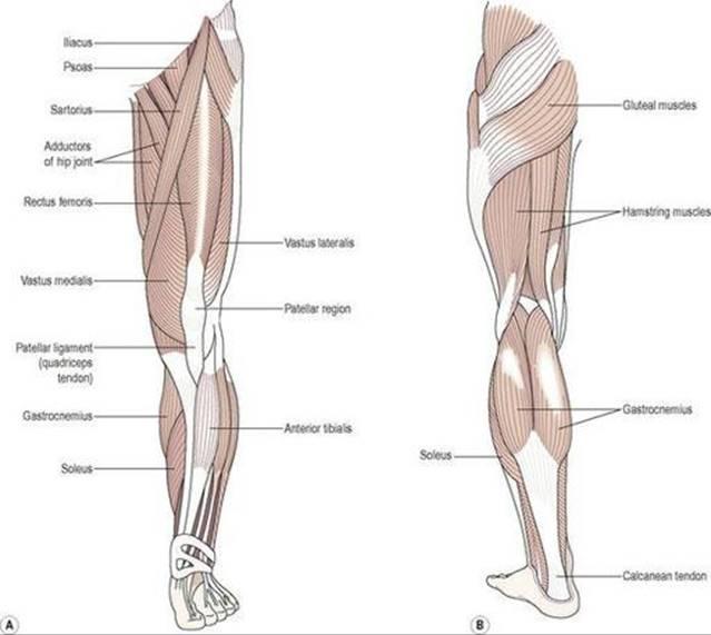 Moderno Anatomy And Physiology Of The Leg Molde - Anatomía de Las ...