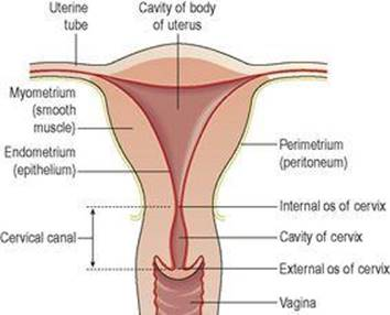 The Reproductive Systems Ross And Wilson Anatomy And Physiology