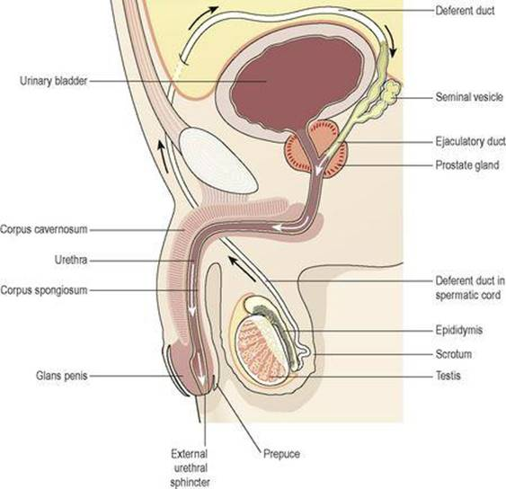 The Reproductive Systems Ross And Wilson Anatomy And Physiology In